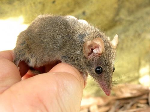 Картинки по запросу Сумчатые мыши