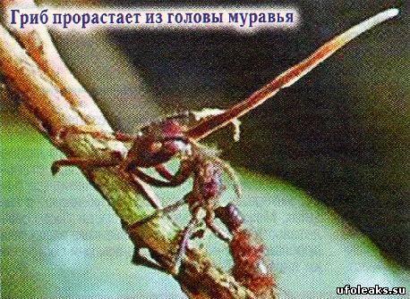 http://ufoleaks.su/images5/murgrib.jpg